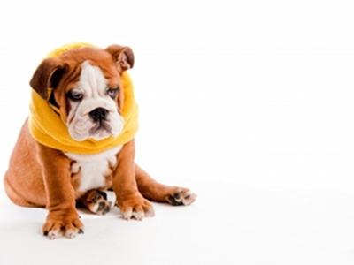 Puppy English Bulldog Puppy Information For Kids