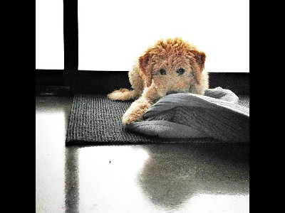 Puppy  -  Goldendoodle Puppy