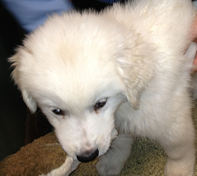 Puppy - Great Pyrenees Information for Kids