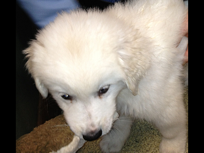 Puppy  -  Great Pyrenees