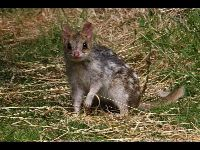 Eastern Quoll image