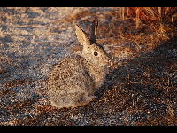 Desert Cottontail image