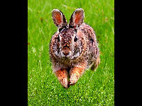 Eastern Cottontail image
