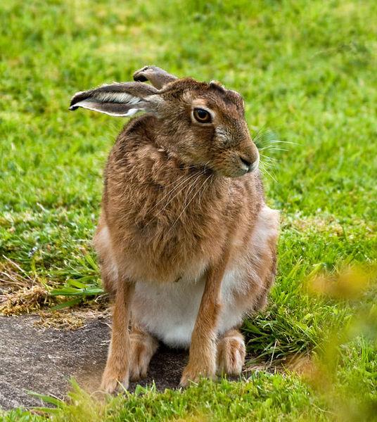 European Hare Information For Kids
