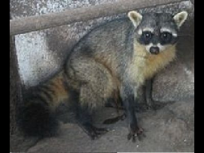 Raccoon  -  Crab-Eating Raccoon