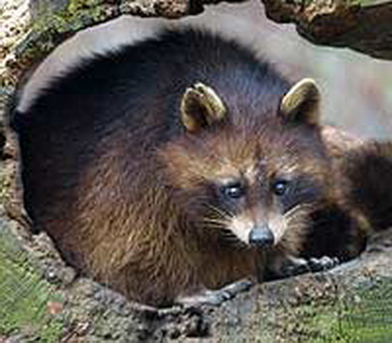 Raccoon Tres Marias Raccoon Information For Kids