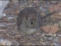 Greater Stick-nest Rat image