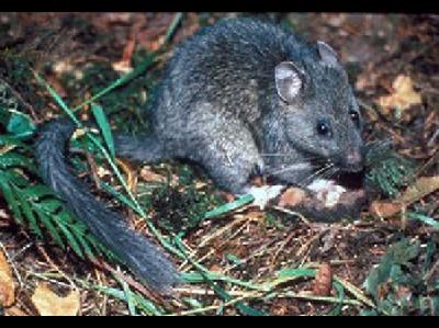 Rat Pack Rat Information For Kids