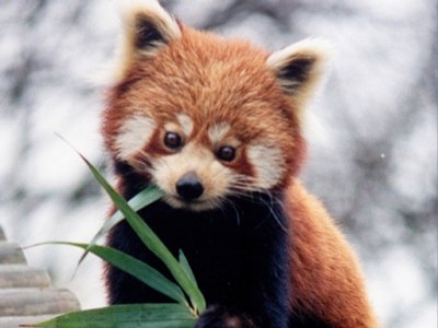 Red Panda Information for Kids