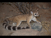 Ringtail image