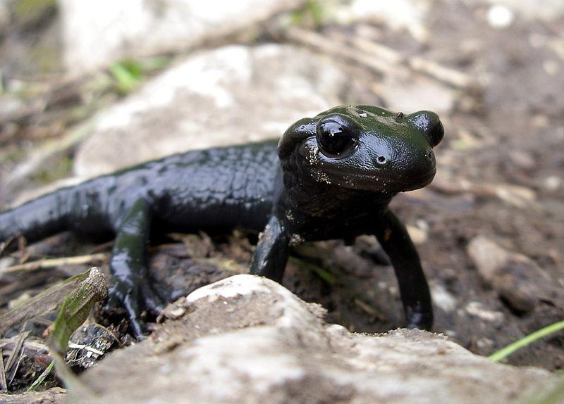 Salamander Alpine Salamander Info Photo 1