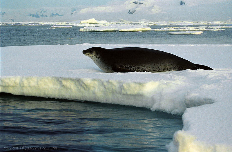 Seal Weddell Seal Information For Kids