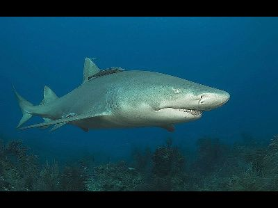 Shark  -  Lemon Shark