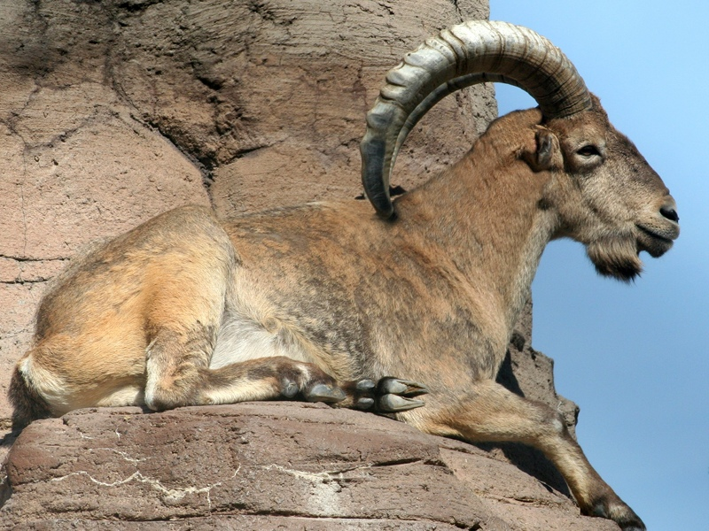 Sheep Barbary Sheep Information For Kids