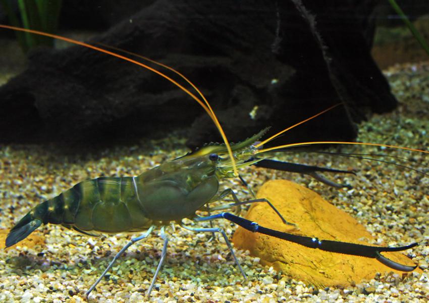 Shrimp - Giant River Prawn Info - Photo 2
