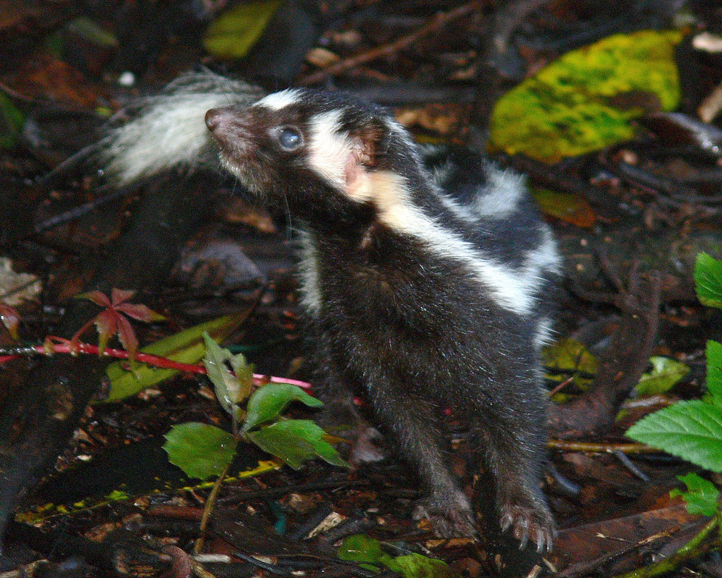 Skunk Eastern Spotted Skunk Information
