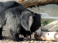 Sloth Bear image