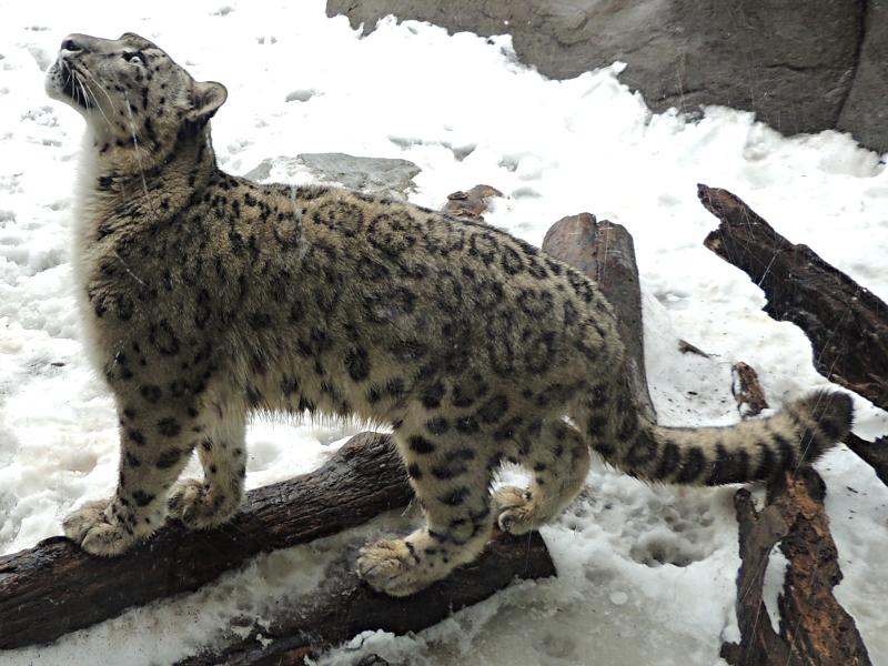 Snow Leopard Information For Kids