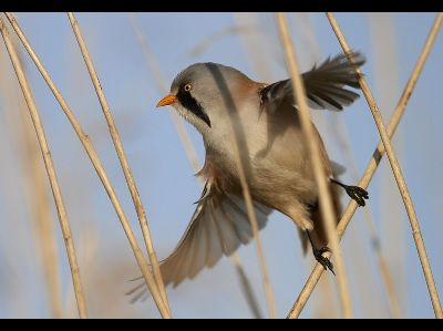 Songbird  -  Bearded Reedling