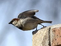 House Sparrow image