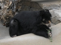 Spectacled Bear image