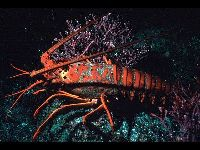 Spiny Lobster image