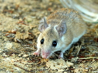 Cairo Spiny Mouse image
