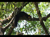Indian Giant Squirrel image