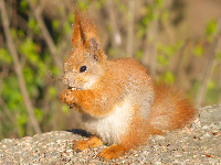 Red Squirrel image