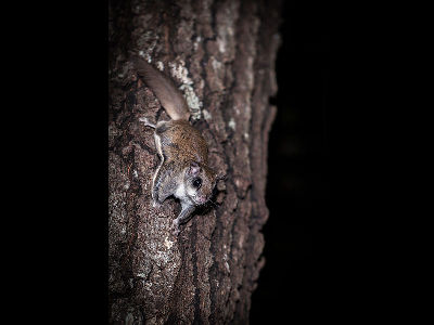 Squirrel  -  Southern Flying Squirrel