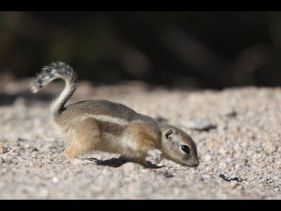 Squirrel  -  White-tailed Antelope Squirrel