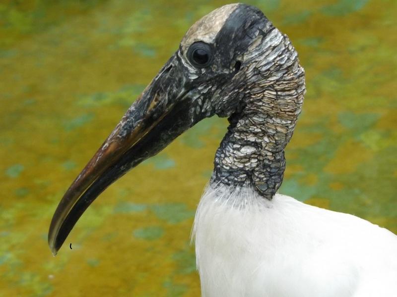 Stork - Wood Stork Information for Kids