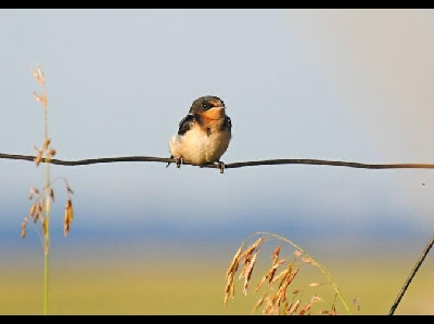 Swallow  -  Barn Swallow