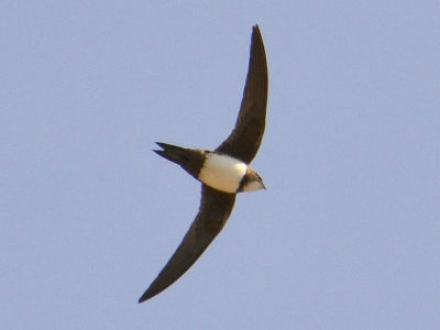 Swift  -  Alpine Swift