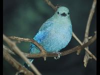 Blue-gray Tanager image