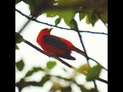 tanager/tanager_Scarlet_Tanager