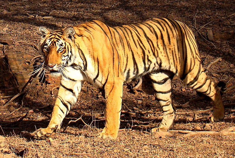 Tiger bengal tiger information for kids