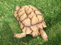 African Spurred Tortoise image