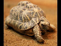 Indian Star Tortoise image