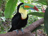 Toco Toucan image