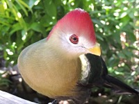 Red-crested Turaco image