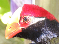 Violet Turaco image