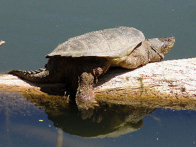 Turtle  -  Common Snapping Turtle