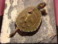 Indian Roofed Turtle image