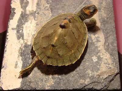Turtle  -  Indian Roofed Turtle