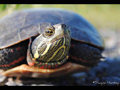 Painted Turtle Facts For Kids