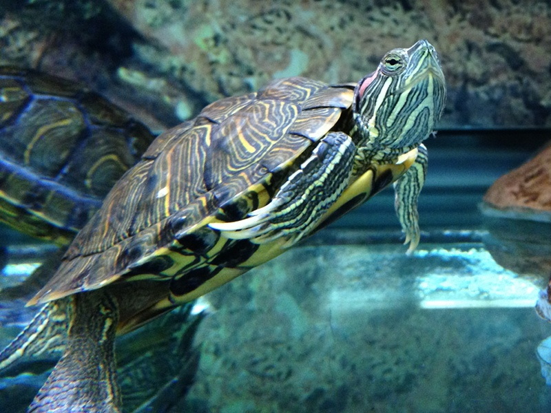 Turtle - Red-eared Slider Info - Photo 3
