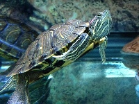 Red-eared Slider image