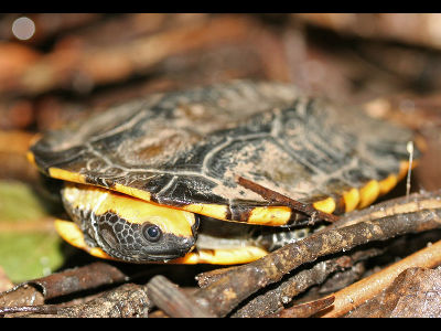 Turtle  -  Twist-necked Turtle