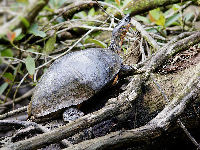Wood Turtle image